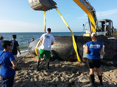 XCMG excavators help to save aground whale in Florida